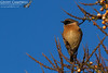 Stonechat (Saxicola rubicola) (gcampbellphoto) Tags: saxicola rubicola stonechat nature wildlife bird avian gcampbellphoto ballycastle north antrim animal outdoor songbird tree sky food