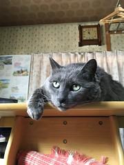 Keeping an Eye on Naomi (sjrankin) Tags: 25february2018 edited animal cat yuba table kitchen clock watch yubari hokkaido japan