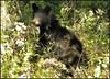 Bright eyes (cscott_va.) Tags: blackbear vurginia wildlife skylinedrive shenandoahnationalpark