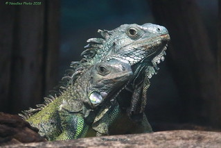 Grüner Leguan - Green iguana (in explore 20.01.2018)