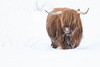 McCoo (Twenty-21) Tags: glencoe mcccoo aberdeen angus highland cattle cow horns snow winter scotland