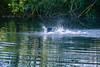 DSC_6389.jpg (b0n2a1) Tags: 2017 grandcirclecruiseline hunawihr naturoparcexcentredereintroduction rhineriver routederibeauville storks animalpark swanmvrhapsody