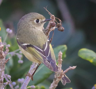 Ruby-crowned Kinglet ♔  South Coast Botanic Garden Palos Verdes Peninsula  California  097