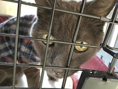 At the Vet (delayed by blizzard) (sjrankin) Tags: 3march2018 edited animal cat bonkers closeup cage carrier catcage catcarrier eyes vet clinic kitahiroshima hokkaido japan