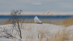 Snowy Owls of New Jersey | 2018 - 03 (RGL_Photography) Tags: birding birds birdsofprey birdwatching buboscandiacus gardenstate jerseyshore monmouthcounty mothernature nature newjersey nikonafs600mmf4gedvr nikond500 ornithology owls raptors snowyowl us unitedstates wildlife wildlifephotography beachowl