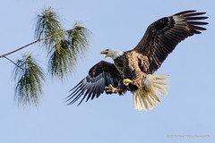 Bald Eagle landing on Slash Pine (BradVV) Tags: florida wildlife bird baldeagle eagle landing tree branch slashpine pine feathers plumage flying talons