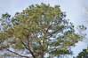 Evergreen Tree And Sky. (dccradio) Tags: lumberton nc northcarolina robesoncounty outdoors outside nikon d40 dslr nature natural tree trees greenery landscape treeline evergreen pine sky bluesky clouds
