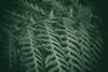 The Order of Things (preze) Tags: tidy farn pflanze plant leaf blatt einfarbig ordnung