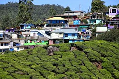 Workers' cottages, tea plantation near Munnar, Kerala, India. (nick taz) Tags: tea plantation workers cottages homes kerala india