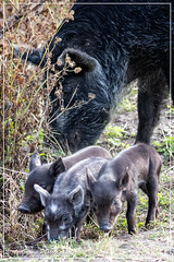 Mom and Family (photosbylag) Tags: circleb alligators cardinal greenheron hogs piglets