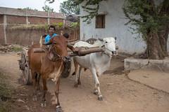 Kawardha = Chhattisgarh - India (wietsej) Tags: kawardha chhattisgarh india sony a900 zeiss sal1635z 1635 cows car father child rural village street wietse jongsma bhoramdeo