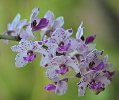 Rhy. gigantea 'Alba' x Rhy. gigantea 'Red' (ACEZandEIGHTZ) Tags: closeup orchid orchidea nikon d3200 bokeh white spots rhynchostylis rhy gigantea doublefantasy floralfantasy coth coth5 sunrays5 naturethroughthelens