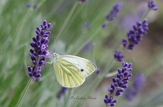 Schmetterling auf Lavendel (andreailona13) Tags: butterfly sommer summer lavendel lavender garden garten gelb yellow lila violett macro 3d flora fauna nature bokeh