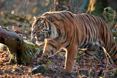 je l'adore ce tigrou (rondoudou87) Tags: tigre tiger pentax k1 parcdureynou parc park zoo reynou sumatrantiger sumatran nature natur wildlife wild smcpda300mmf40edifsdm sauvage light lumière forest forêt