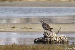 Balbuzard (jeanot94) Tags: westernosprey aguilapescadora águiapesqueira fischadler falcopescatore sénégal lacrose djoudj sinésaloum saintlouis lasomone mbour