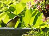 Olive-backed Sunbird (tinlight7) Tags: bird sunbird mekong vietnam taxonomy:kingdom=animalia animalia taxonomy:phylum=chordata chordata taxonomy:subphylum=vertebrata vertebrata taxonomy:class=aves aves taxonomy:order=passeriformes passeriformes taxonomy:family=nectariniidae nectariniidae taxonomy:genus=cinnyris cinnyris taxonomy:species=jugularis taxonomy:binomial=cinnyrisjugularis cinnyrisjugularis olivebackedsunbird yellowbelliedsunbird souimangaàdosvert taxonomy:common=olivebackedsunbird taxonomy:common=yellowbelliedsunbird taxonomy:common=souimangaàdosvert inaturalist:observation=9821469