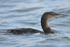 Great Northern Diver  (Gavia immer) (GrahamParryWildlife) Tags: grahamparry kentwildlife grahamparrywildlife graham parry 7d mk2 mk11 sigma sport 150600 outdoor animal essex mersea east west global loon great northern diver sea nonbreeding bird water common largest gavia immer