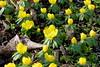 Winter into spring (Sockenhummel) Tags: volksparkwilmersdorf winterlinge blumen frühling spring gelb blüten flowers barbrücke
