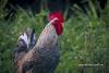 Roadside Rooster (tclaud2002) Tags: rooster hicken animal farmanimal wildlife roadside stuart florida