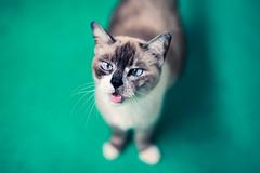 Hello! (Jon Siegel) Tags: nikon d810 sigma 50mm 14 50mmf14 sigma50mmf14art cat neko kitty cute canhaz cheezburger talking singapore singaporean kitteh