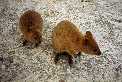Mid December 1993 - Friendly furry Quokkas looking for a handout along Parker Point Road, Rottnest Island, Western Australia, Australia (aussiejeff) Tags: middecember1993friendly quokkas parkerpoint rottnestisland westernaustralia australia aussiejeff jeffc rotto rottnest island seagulldf300 slrcamera minoltax300 minoltax370 kodakgold100 35mm colorfilm sigma28200mm compactslrasphericalhyperzoommacro canoscan8800f scan restored colornegative adobephotoshopelements50 nature nativeanimals wildlife urbanwildlife cute animals marsupial furry fur