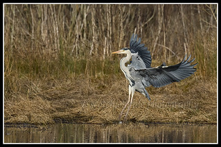 IMG_0155 Grey Heron