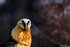 He has the look (The Little Window) Tags: aves cogulers lleida solsona beardedvulture gypaetusbarbatus photologistics nikon nikond500 200500vr benro lensmastergimbal portrait wildlife bird birding