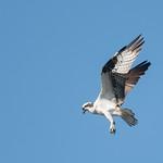DSC_3403.jpg Osprey, San Lorenzo River, Santa Cruz thumbnail