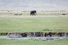 Seul ou presque ! (Chamaloote & Fabrizio) Tags: voyage éléphant zèbre hippopotame cratère ngorongoro afrique réserve gnou animal sauvage souvenir