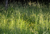 Buttercups in the Grass (Vegan Butterfly) Tags: outside outdoor summer grass yellow flowers buttercups nature plants