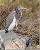 Tricolored Heron 0153 (maguire33@verizon.net) Tags: bolsachica bolsachicaecologicalreserve egrettatricolor louisianaheron tricoloredheron bird heron wetlands wildlife huntingtonbeach california unitedstates us