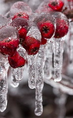 Frozen (ysw) Tags: edwardsgardens berry flora freezingrain ice icycle red winter