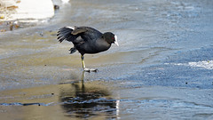 coot on the frozen lake (2/2) : ... or ice skating :) (Franck Zumella) Tags: coot foulque poule eau noire black lake lac frozen gele funny fun amusant walk marcher animal winter hiver nature reflection reflexion ice glace snow neige sony a7s