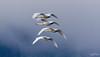 Grant Narrows Regional Park - Trumpeter Swans in Flight (Explored) (SonjaPetersonPh♡tography ♡ Away Mar. 21-25) Tags: flock birds trumpeterswans trumpeterswan pittmeadows pittlake pittriver winter 2018 nikon nikond5300 grantnarrowsregionalpark regionalpark park clouds water river lake nature marsh marshland waterfowl wildlife bc bcparks britishcolumbia canada