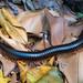 centipede Sechelleptus seychellarum Seychelles