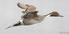 Northern Pintail (Melissa M McCarthy) Tags: northernpintail drake male duck bird animal nature outdoor birdinflight bif flying neutral brown pintail stjohns newfoundland canon7dmarkii canon100400isii
