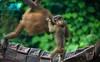 Young orangutan and pig-tailed macaque playing (Xnalanx) Tags: activity ape asia borneo malaysia mammals monkey orangutan pigtailedmacaque places playing sandakan sepilokorangutanrehabilitationcentre wildlife