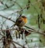Il classico Pettirosso (Danilo Agnaioli) Tags: fiumetevere umbria perugia italia bird canon7dmarkii sigma150500 inverno 2018 gennaio passeriformi