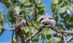 All fresh and fluffy (Photosuze) Tags: shrikes birds aves avians loggerheadshrikes juvenile fuzzy fluffy animals nature wildlife
