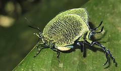 Arcas Imperialis (hippobosca) Tags: arcasimperialis butterfly lepidoptera peru insect macro hairstreak lycaenidae