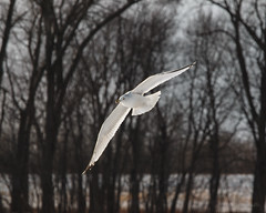 Gull on the Illinois River (Chris Mahoney - AACStudio) Tags: birds ice illinoisriver pekin river winter gull water flying trees flight nature photography
