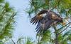 Leap of faith (Chris St. Michael) Tags: birdofprey birdinflight bird eagle baldeagle nature naturephotography wildlife wildlifephotography