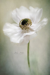 Single White (Jacky Parker Flower Photography) Tags: anemone anemonedecaen windflower flower white single springflower springcolour springtime springgarden portraitformat selectivefocus imagefocustechnique freshness fragility beautyinnature purity flowerphotography