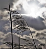 An angel to watch over me (Paul Wrights Reserved) Tags: wind windy sun cloud cloudscape cloudy highlight reed botanical angel contrast bend straight sunburst sunny skyscape sky silhouette