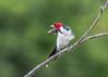 Red-capped Cardinal (tickspics ) Tags: amazonbasin birds manú peru cochasalvador southamerica redcappedcardinal manúbiospherereserve manúnationalpark paroariagularis tropicalrainforest