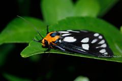 Unknown Day flying moth [Flickr Explore: 18 Jan 2018] (Wonder Kitsune) Tags: moth mothsofthailand dayflyingmoth dayflyingmoths moths lepidoptera insect bugs