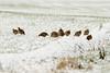 Red Legged Partridges in the snow (orangutan_sean) Tags: snow white outdoors nature wildlife canon cold birds avian partridges redleggedpartridges