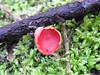 Scarlet Elf Cap, River Cober, Helston, Cornwall 22 January 2018 (Cold War Warrior) Tags: fungus fungi mushroom toadstool helston cornwall sarcoscyphacoccinea
