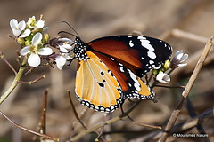 0S8A5974. Plain Tiger (African Monarch) | Danaus chrysippus (Nick Ransdale (http://www.nick-ransdale.com/)) Tags: plaintiger africanmonarch danauschrysippus oscar aldeguer peral