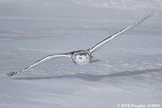 Female Snowy Owl (Bubo scandiacus)